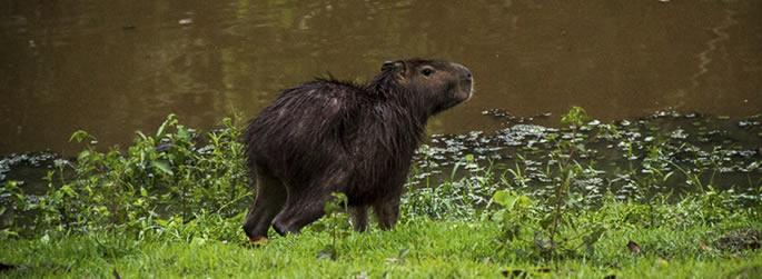 Capivaras chamam atenção nos lagos da Ufac