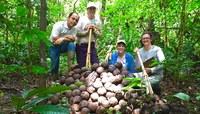 Pesquisadores estudam comportamento produtivo de castanheiras no Acre